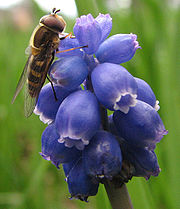 A Syrphid fly on a Grape hyacinth