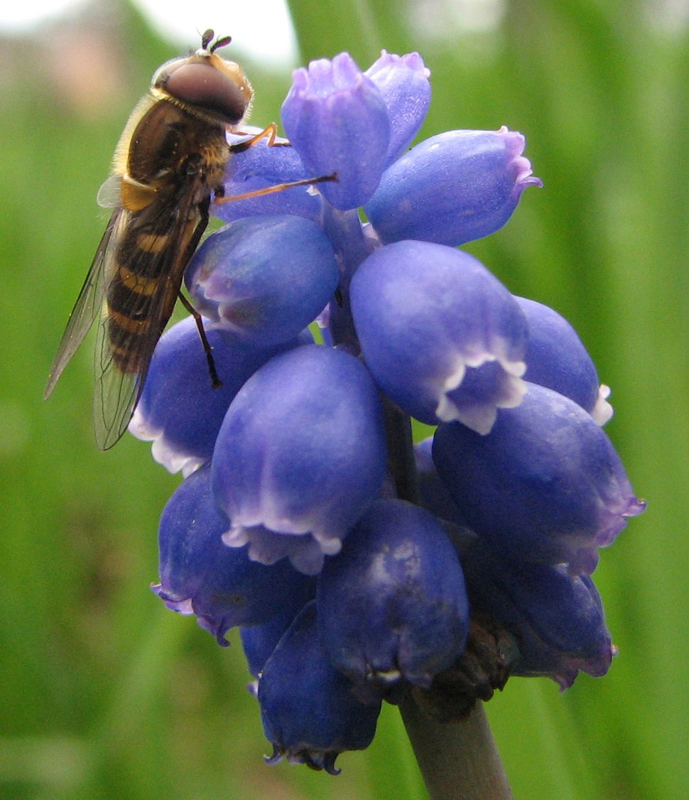 Syrphid fly on Grape hyacinth