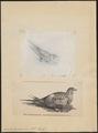 Syrrhaptes paradoxus - 1700-1880 - Print - Iconographia Zoologica - Special Collections University of Amsterdam - UBA01 IZ16900061.tif