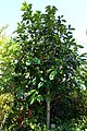 Syzygium malaccense - Naples Botanical Garden - Naples, Florida - DSC09781.jpg