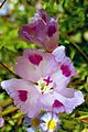 T20080705A-7A--Clarkia williamsonii--RPBG (14669868544).jpg