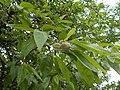 Tabáni Park Botanikai Tanösvény. Mandulabarack (Amygdalopersica hybrida). - Budapest.JPG