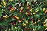 """Original-Tabascosauce wird aus der Chili-Sorte """"Tabasco"""" hergestellt"""