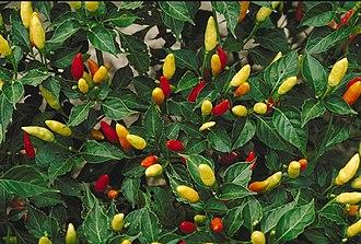 Capsicum frutescens - Image: Tabasco peppers