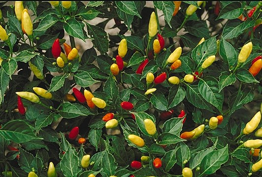 c77833bb3a48 Tabasco (plant) - Wikiwand