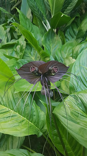 Black Bat Flower Plant Tacca Chantrieri Urban Tropicals