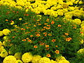 Tagetes in flowerbed border 02.JPG