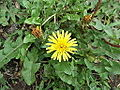 Taraxacum officinale-flower-yercaud-salem-India.JPG