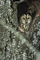 Tawny Owl at roost - Appenines - Italy D5A3643 (23892362620).jpg