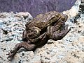 Taxidermied bufo bufo.jpg