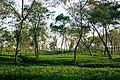 Tea garden , shrimangal.jpg