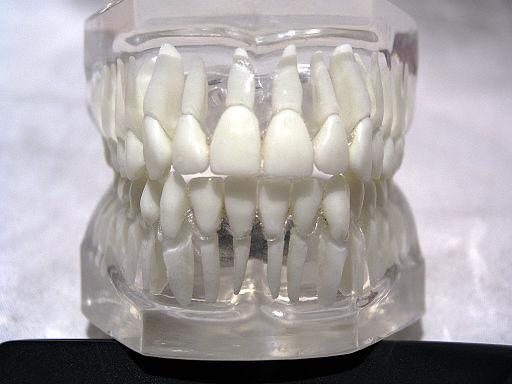 Teeth model front