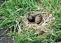 Tern eggs beside the footpath, Inner Farne - geograph.org.uk - 1379413.jpg