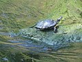 Terrapin in the Hogsmill at Kingston upon Thames - geograph.org.uk - 436549.jpg