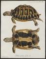 Testudo graeca - 1700-1880 - Print - Iconographia Zoologica - Special Collections University of Amsterdam - UBA01 IZ11600011.tif