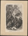 Testudo indica - 1700-1880 - Print - Iconographia Zoologica - Special Collections University of Amsterdam - UBA01 IZ11600073.tif