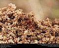 Texas Leafcutter Ant (Formicidae, Atta texana) (29196648841).jpg