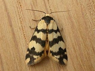 <i>Thallarcha trissomochla</i> species of insect