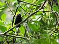 Thamnophilus cryptoleucus - Castelnau's Antshrike.jpg
