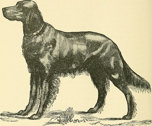 Irish Setter at the Rod and Gun Clnb Show at Springfield, Mass.By Internet Archive Book Images [No restrictions], via Wikimedia Commons