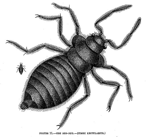 The Bed-Bug (Cimex lectularius)