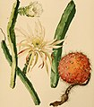 The Cactaceae - descriptions and illustrations of plants of the cactus family (1919) (14780160261).jpg
