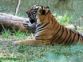 The Tiger in exsitu conservation-Mysore Zoo.jpg