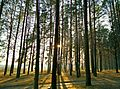 The forest - panoramio.jpg