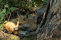 The fox beside the cottage 02.jpg