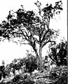 The indigenous trees of the Hawaiian Islands (1913) (20105124303).jpg