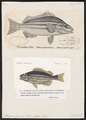 Therapon cuvieri - - Print - Iconographia Zoologica - Special Collections University of Amsterdam - UBA01 IZ13000108.tif