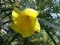 Thevetia peruviana (2).JPG
