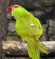 Thick-billed Parrot 2.jpg