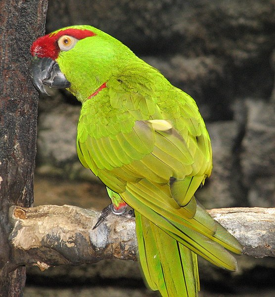 File:Thick-billed Parrot 2.jpg