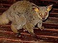 Thick-tailed Bushbaby (Otolemur crassicaudatus) (11965172875).jpg