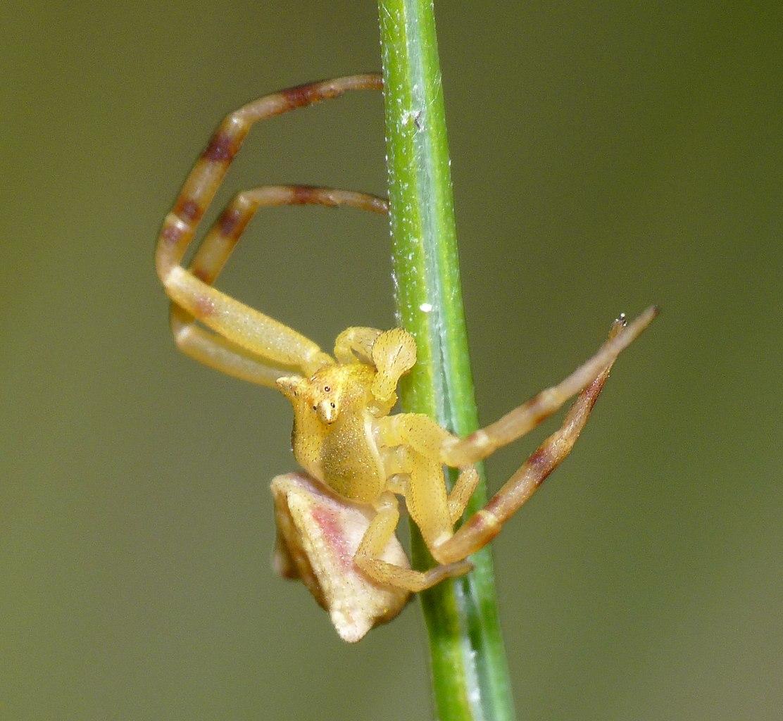 Kvetárik menlivý (Thomisus onustus) - samček
