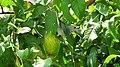 Thraupis sayaca feeding on guavas (2836768470).jpg