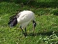 Threskiornis aethiopicus.004 - Zoo Aquarium de Madrid.JPG