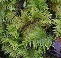 Thuidium tamariscinum (Common tamarisk-moss) - Flickr - S. Rae.jpg