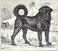 Tibetan Mastiff circa 1915.jpg