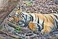 Tiger34.jpg