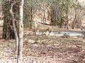 Tiger image29.jpg