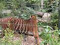 Tigers in ZooParc de Beauval 4.JPG