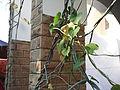 Tinospora cordifolia-BSI-jodhpur-India.JPG