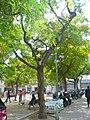 Tipuana de la plaça del Nord P1510456.jpg