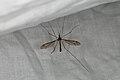Tipula lateralis (36735107736).jpg