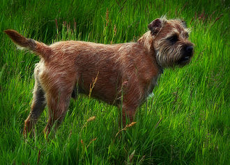 Border Terrier - Unstripped Border Terrier