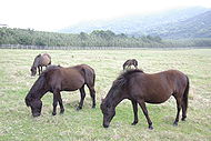 Tokara-Uma which eat a pasture.jpg