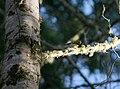 Townsend's Warbler - Dendroica townsendi.jpg