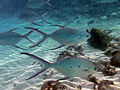 Trachinotus bailloni Maldives1.jpg